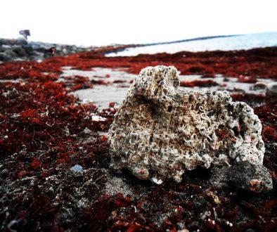 Sargazo y coral